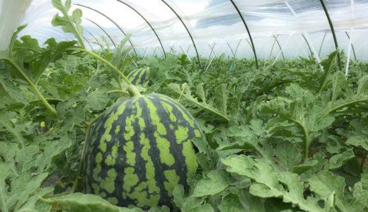 田舎で農業を始めたい人へ。梅田がすいかを作るわけをお教えします。