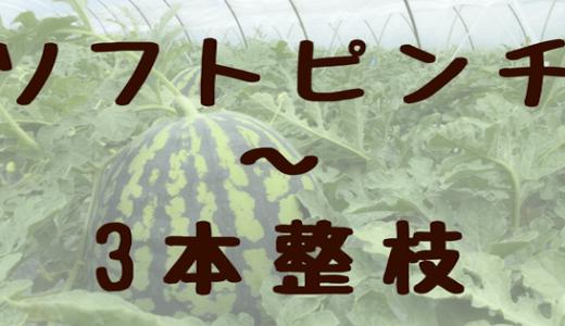 今日のすいか栽培「ソフトピンチ」〜「3本整枝」編
