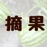 今日のすいか「摘果編」