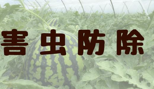 閲覧注意!?今日のすいか栽培「害虫〜防除編」