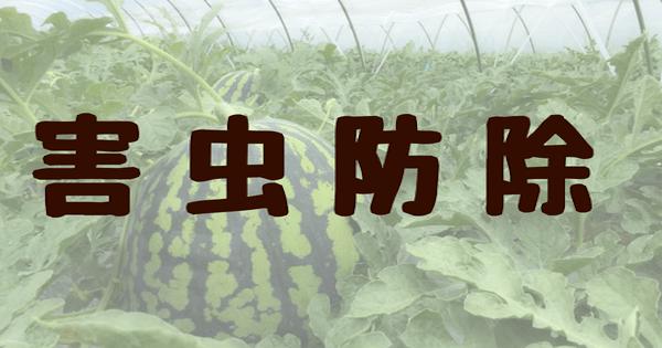 今日のすいか栽培 害虫防除