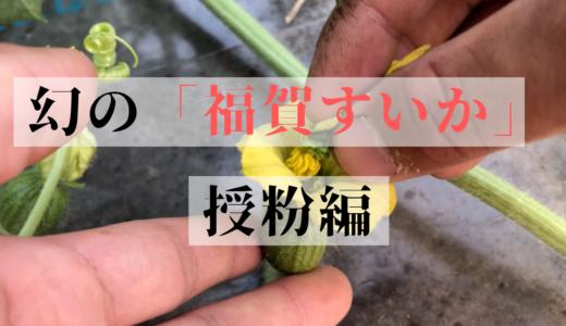 【2019年版】スイカの雄花と雌花ってどうなってるの?シーズン出荷10000玉、幻の「福賀すいか」の栽培の様子をお届け!【授粉】