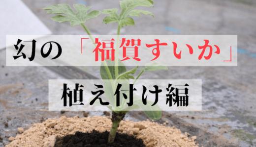 【2019年版】幻の「福賀すいか」の栽培シーズン到来!スイカの苗の植えかたをご紹介します!